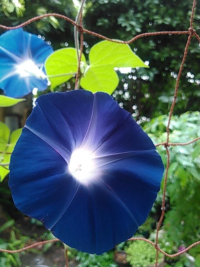 青い朝顔_フィッシュアイ0827_1222.jpg